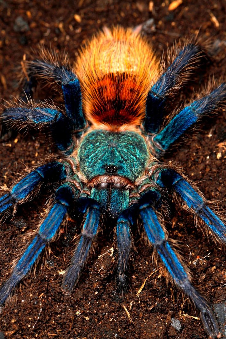 Chromatopelma cyaneopubescens  green bottle blue tarantula