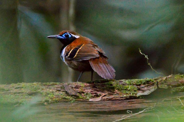 Formigueiro-ferrugem é espécie exclusiva da Amazônia. (Foto: Gustavo Gaspari/VC no TG)