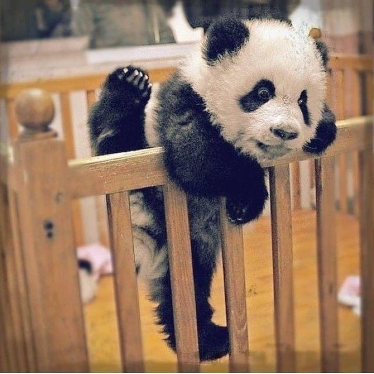 Смешная картинка панда на ручках, прикольная про водителя