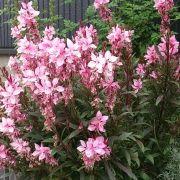 ガウラ(ハクチョウソウ・ヤマモモソウ) Gaura lindheimeri ・肥料は控えめに ・日当たり~半日陰で育つ ・混み合ってきたら夏に一度刈り込む