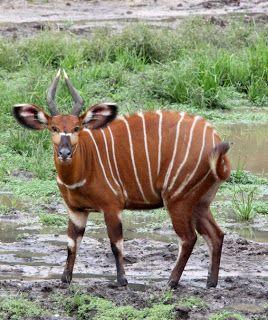 Amazing Animal And Birds: Bongo : Tragelaphus eurycerus: INFORMATION