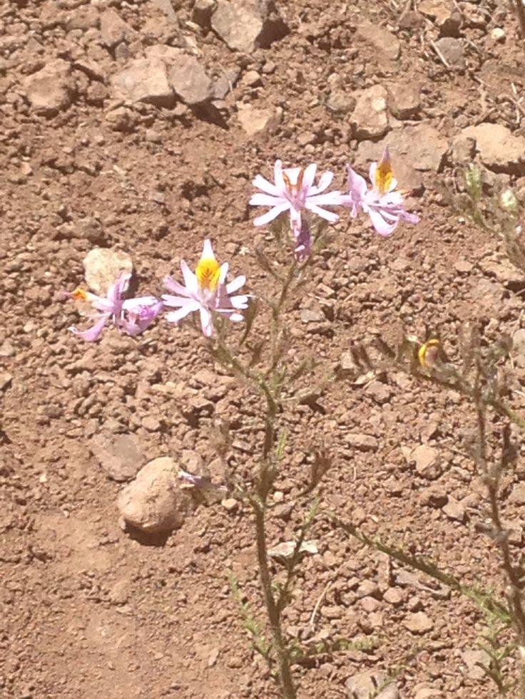 Schizanthus spp. Parque Juncal, portillo. Febrero, 2015