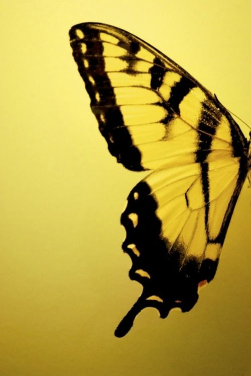 Nature -- butterfly ~ black and yellow
