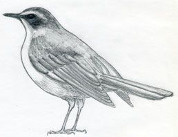 How To Draw A Bird ~ Mulberry