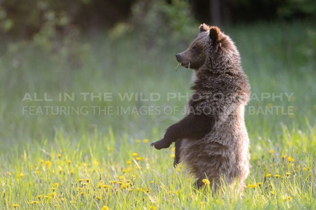 RARING TO GO Banff National Park, AB   This is one of Bear 64's cubs that I was fortunate to capture on film in his/her second summer of life. They had been feeding in a field of dandelions, taking 'breaks' to play when they had filled their bellies. This guy was getting full and kept looking at his siblings, wondering if they were 'rarin' to go'.