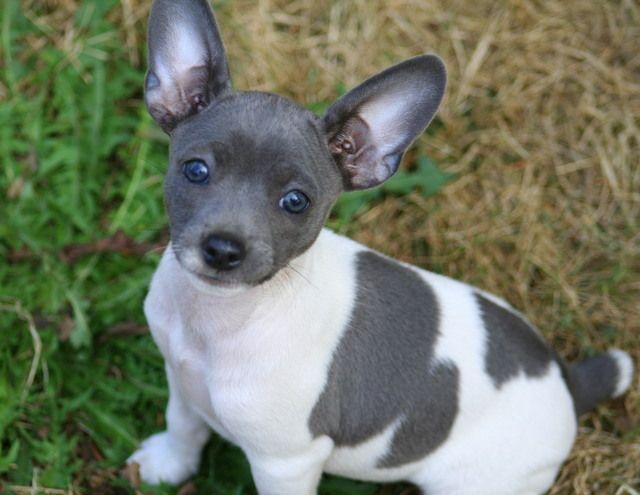 gray and white delight .. rat terrier