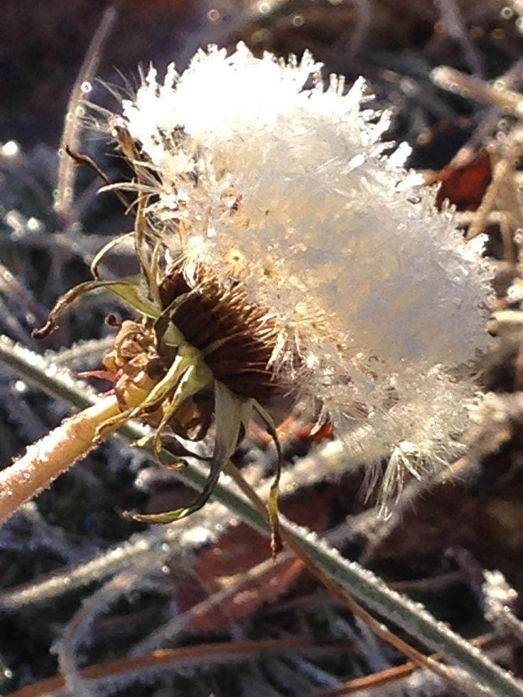 https://flic.kr/p/F56EPi | Frosted with a kiss. #crystal #snow #dandelion #sunshine #yellow #freezing #cold #ice #winter #morning #macro #nature #camera #lens #upclose ❄️