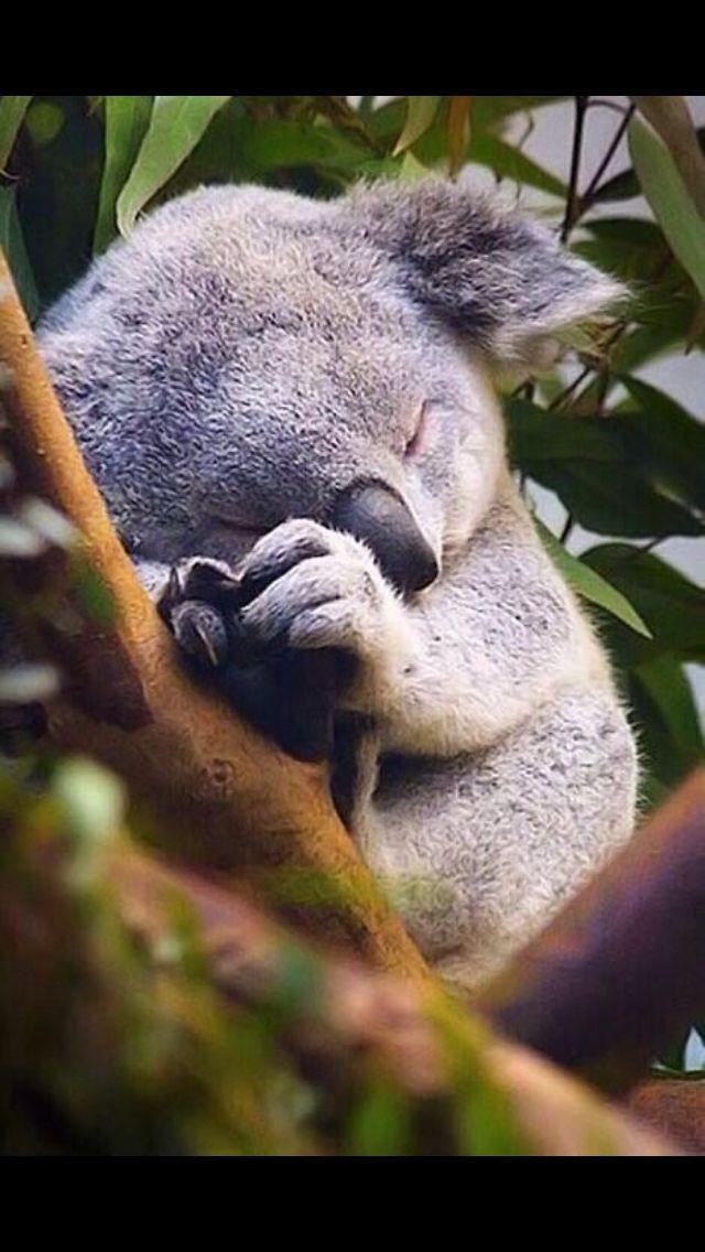 Baby koala in a tree.