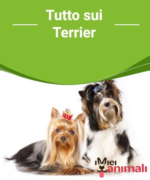 Tutto sui Terrier  Il termine #terrier è un nome #generico condiviso da un #gruppo di #razze di #cani, la maggior parte dei quali #provenienti dalle #isole britanniche. #CURIOSITÀ