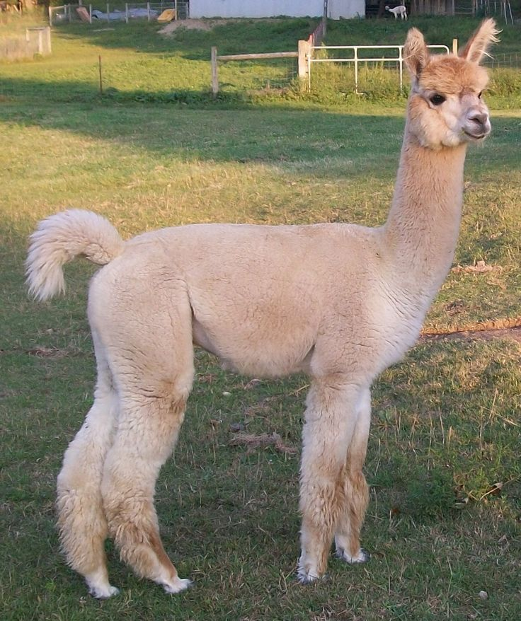 Baby Alpacas for Sale | Peaceful Heart Alpacas: Alpacas For Sale – Pet and Fiber Boys