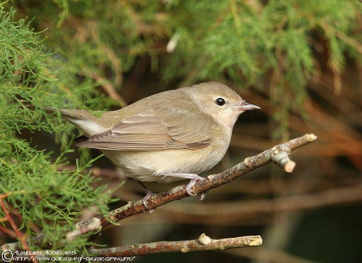 Garden warbler (Sylvia borin) Садовая славка seen