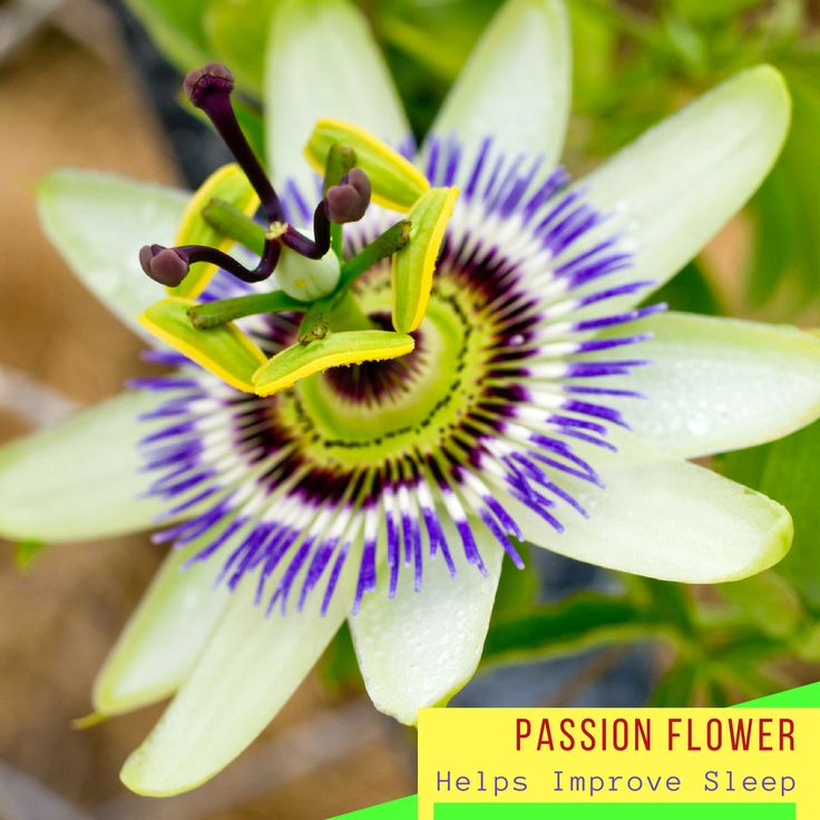 Drinking passion flower tea for a period of time clearly showed significant sleep improvement for patients in a study that was conducted. Passion flower together with valerian root may be one of the best combinations to help combat insomnia and could be ideal, if you seem to have difficulty turning off the brain at night, by calming the cells within it.  #USimplySeason #spices #PassionFlower  Source: Dr Axe…