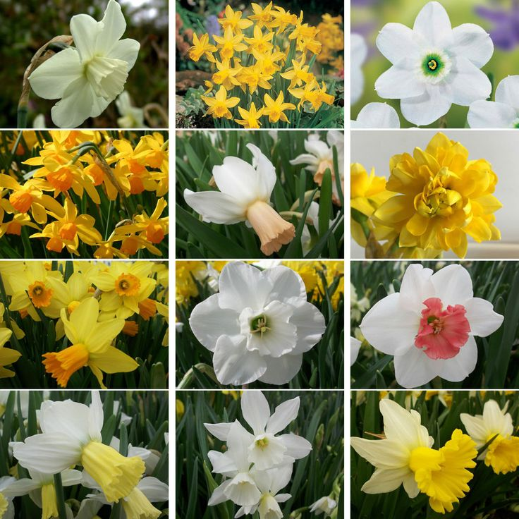 Narcissus Bulbs Perennial Daffodil Spring Flowering Bulbs Garden Plants