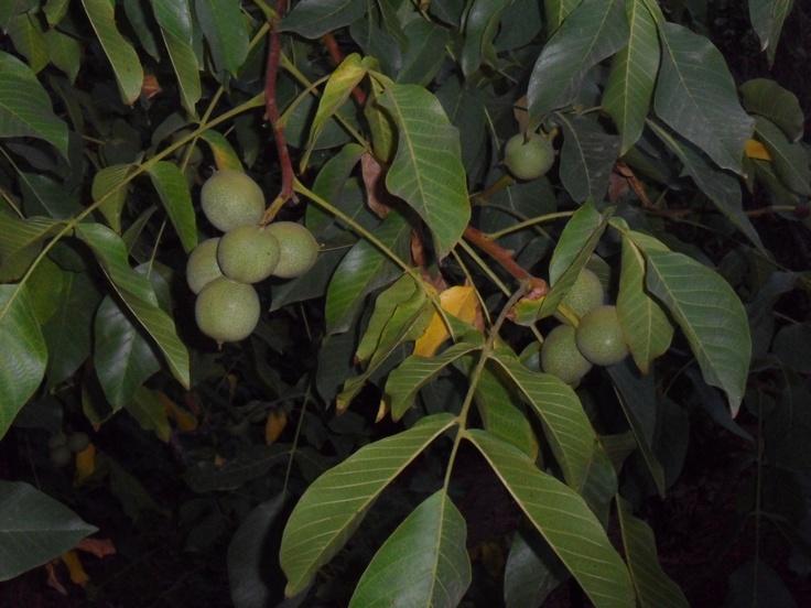 walnuts - 4