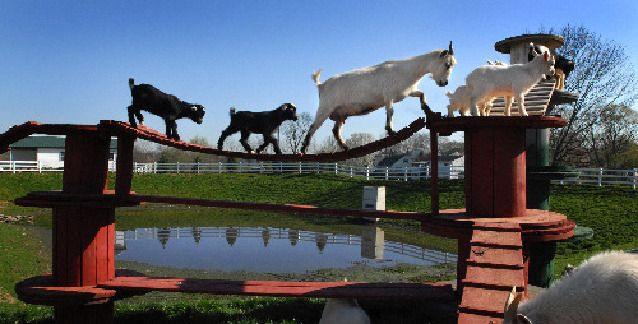 wood spool goat | pygmy goats cross the golden goat bridge at the amish farm
