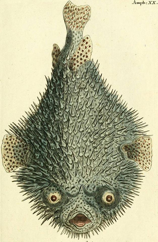 najeżka /Diodon hystrix/ (Borowski 1783)