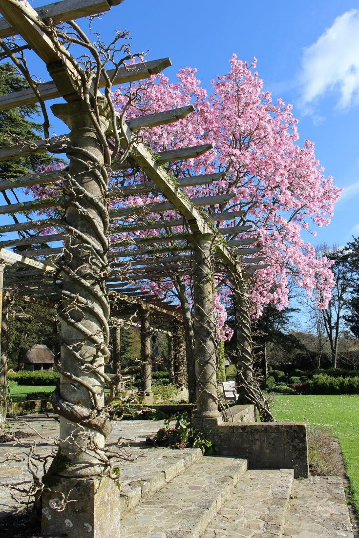 Bright pink magnolia on display next to the pergola in West Dean Gardens.