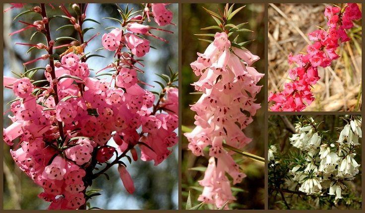 5 Grampians Wildflower HOT Spots! - RedzAustralia