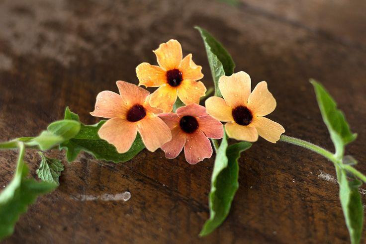 Blushing Susie Thunbergia - Pinetree Garden Seeds - Flowers