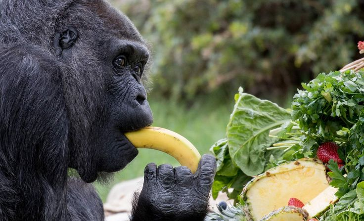 World's oldest gorilla marks 60th birthday  Berlin Zoo on Thursday celebrated the 60th birthday of Fatou, believed to be the oldest gorilla living in captivity.   There is no birthday cake with candles for Fatou, but instead a basket of pineapples and bananas.  In 1959, a soldier brought Fatou back to Marseille, France from West Africa, and after many twists and turns Fatou finally settled down in Berlin Zoo.  For now, Fatou has a large extended family below her. Her grandchild still lives…