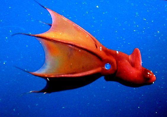 """As lulas de vampiros ( infernalis Vampyroteuthis , lit. """"lula-vampiro do inferno"""") é um cefalópode pequeno, de alto mar encontrado em todo os oceanos temperados e tropicais do mundo."""