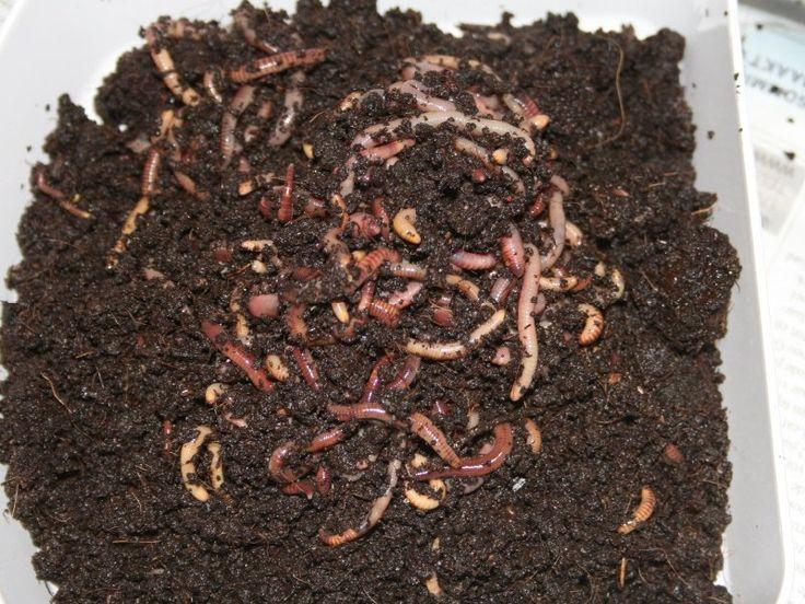 """Oogsten na 6 maanden. We hebben de onderste bak er onderuit gehaald,  en wat gelijk opvalt is dat van het orginele volume nog maar iets van 40% over is.  Er zitten nog wel wat wormen in, maar er zitten geen herkenbare resten meer tussen.  Je kan op meerdere manieren de wormen eruit halen,  je kan ze sorteren,zeven en zoals in onderstaande uitleg """"klonteren"""". Door steeds de bovenste halve centimeter eraf te halen trekken de wormen van het licht weg  (wel de tijd even voor nemen). De zijka"""