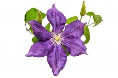 Flores de Bach, la flor como terapia.