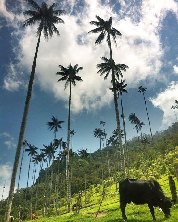 Comparateur de voyages http://www.hotels-live.com : Cocora Valley in #Colombia is home to several beautiful wax palms  and is part of the Los Nevados National Natural Park. Double tap if you want to go here! Hotels-live.com via https://www.instagram.com/p/BDB4IMQEgW9/ #Flickr via Hotels-live.com https://www.facebook.com/125048940862168/photos/a.844858345547887.1073741849.125048940862168/1123161087717610/?type=3 #Tumblr #Hotels-live.com