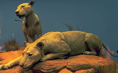 The Tsavo Lions | The Field Museum
