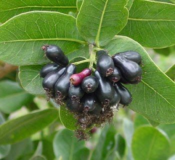 An Edible Fruit Tree Native To Zimbabwe And Mozambique Fruits Are Dark Purple When Ripe The Goth Garden In 2018 Pinte