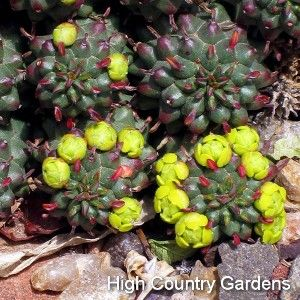 "Euphorbia Clavariodides v. Trincata, Lions Sporea--fantastic, cold-hardy succulent from the high elevations of Lesotho and South Africa; the 1/2""-diameter spineless stems grow to form large, tight mounds; plant in a well drained soil, preferably on the south or west facing slope of a berm"