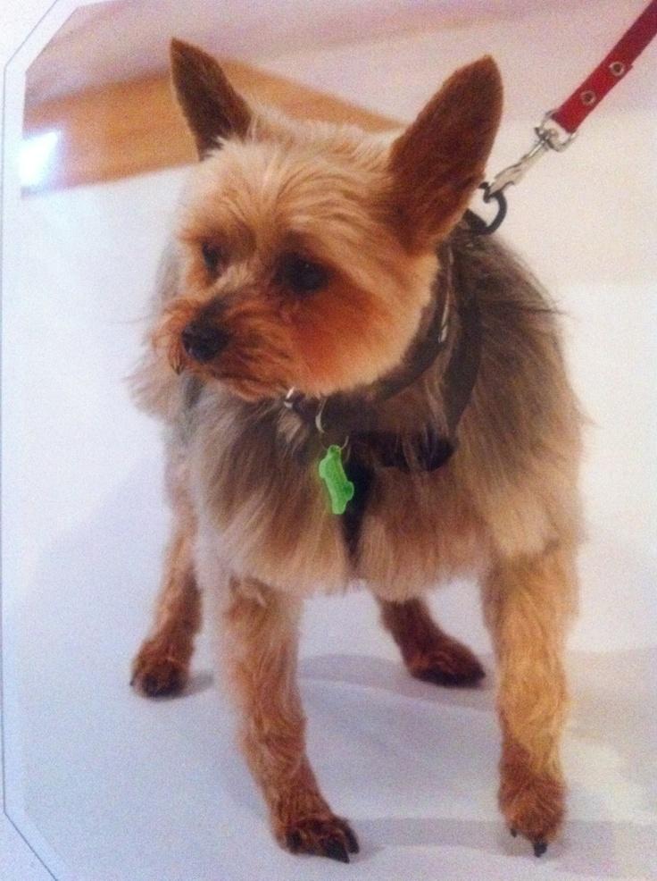 Mon Yorkshire O'Neal, le plus gentil de tous les chiens du monde entier, une perle.
