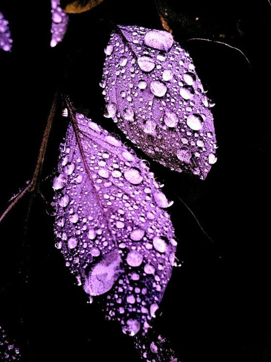 Purple leaves with water drops
