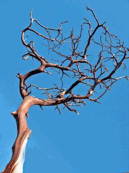 """Manzanita Branches Red Bark 13-14 x 16""""-18"""" tall 6.00 or 3/15.00"""