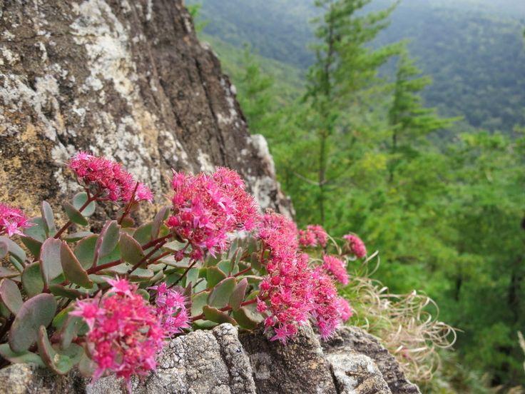 6合目より上に咲くヒダカミセバヤ。北海道アポイ岳。
