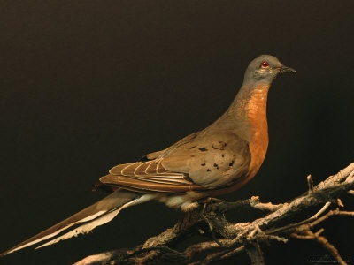 Passenger Pigeon (Ectopistes migratorius) - Taxidermy Specimen.