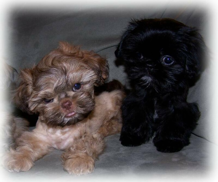 Imperial Shih Tzu and Chinese Imperial Dog -- both too adorable
