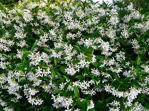 Toscaanse jasmijn 'White Wings' (Trachelospermum jasminoides 'White Wings') | MijnTuin.org