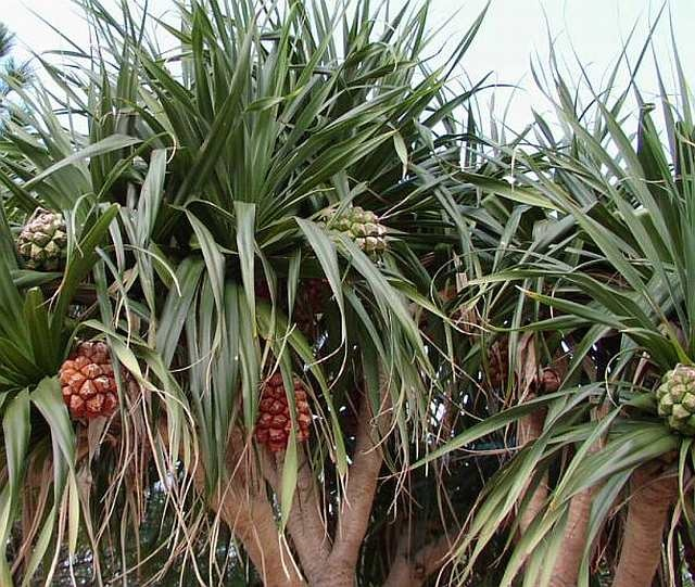 Pandanus palm - Australian native  tropical beach climates