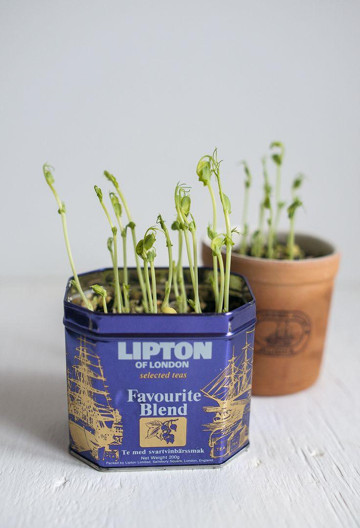 [ Ärtskott ] Lägg en handfull små gula ärtor i blöt över natten. Häll av vattnet, skölj dem, låt en liten, liten skvätt vatten vara kvar. Håll dem fuktiga m den lilla skvätten (skölj gärna av 2–3 gånger/dag). Efter bara ngt dygn har de fått små söta svansar & du kan plantera. Rötterna är rätt ytliga, kräver ingen djup mängd jord. Lägg på jordytan, strö över lite jord så de knappt täcks, vattna m sprayflaska. Håll fuktiga & snart kommer små skott skjuta.