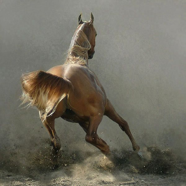 Arabian Horse Photos    photographer unkown  Art & Design  by Tom McGuire