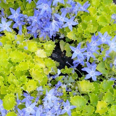 Campanula sempreverde con insolite foglie cuoriformi dorate e fiorellini azzurro-viola a fine primavera.