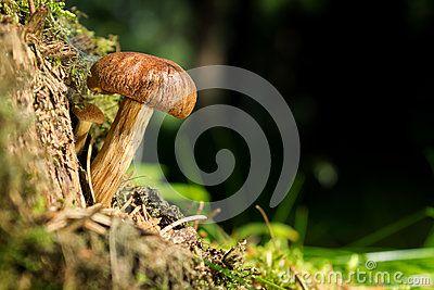 Mushrooms Brandiger Ritterling - Tricholoma ustale - ciruvka osmahla