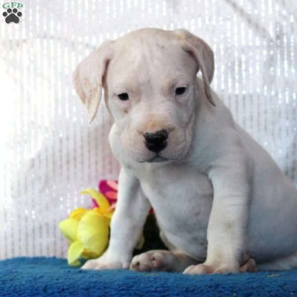 Benji Dogo Argentino Puppy For Sale In Pennsylvania Deti