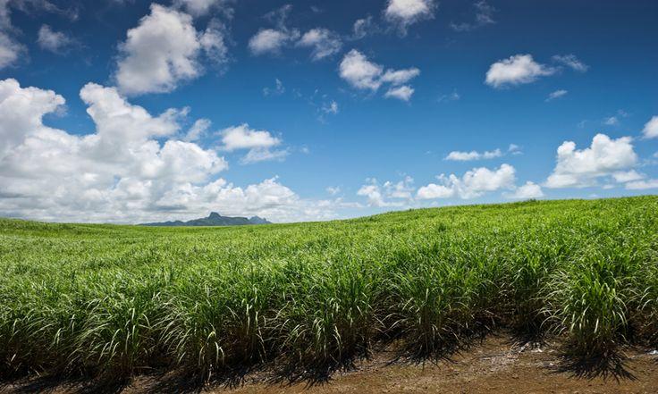 #Maurice . La canne à sucre a grandement façonné le visage de l'ile Maurice et occupe à présent 90 % des terres cultivables. Depuis les côtes et jusqu'aux montagnes du centre, les longues pousses vertes cachent le paysage de mars à septembre. Autre curiosité, les champs gagnés sur le sol volcanique regorgent de pierres noires. Entassées, elles forment des monticules pouvant dépasser 10 m de hauteur. C'est une des vastes particularités de l'île. http://vp.etr.im/ab8