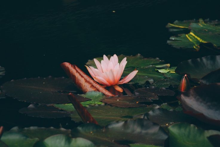 Water Lily. | ferlavins | VSCO Grid
