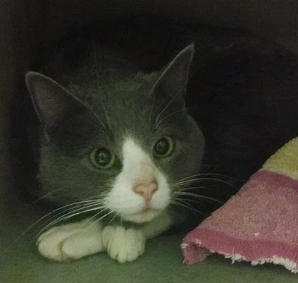URGENT!! PHILLY URGENTS LIST: SPOOKY (A21990012) 3-5 year old male These cats are located at Philadelphia's animal control shelter, ACCT. They need immediate adoption, rescue or foster care. ACCT is located at 111 W Hunting Park Ave and is open 365 days a year. Adoption hours are are 1-8 Monday through Friday and 10-5 on weekends. Call 267-385-3800, or email lifesaving@acctphilly.org. Please visit acctphilly.org for more information