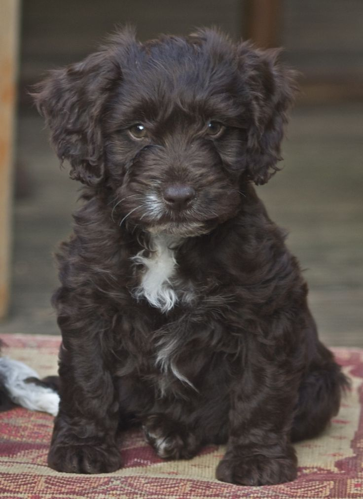 Gorgeous Black Cockapoo puppies £650
