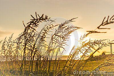Foxtail weed sunrise wind sunset