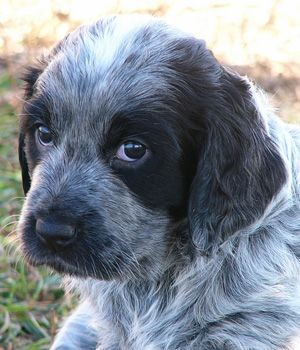 blue picard spaniel | Blue Picardy Spaniel breed info,Pictures,Hypoallergenic:No